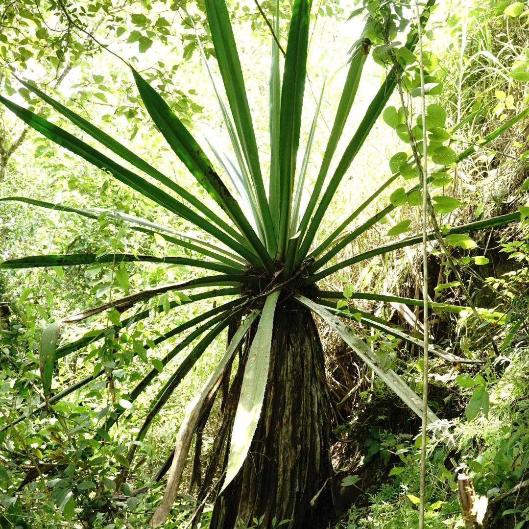 Mata de fique en un bosque Andino