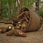 Mandioca: La yuca amazónica.
